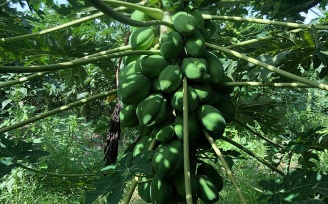 Agroservicios Rafael Martínez en Senegal, cultivo de papaya